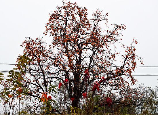 秋天里的柿子树