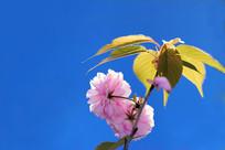 蓝底盛开光透樱花