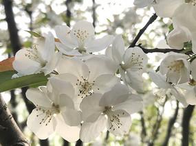 梨花横构图