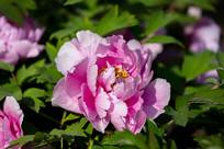 带露水的粉色牡丹花