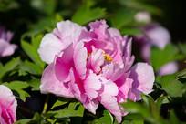 带露水的浅粉色牡丹花