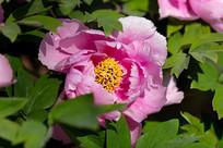 带露珠的粉色牡丹花
