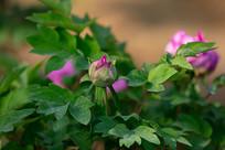粉色牡丹花骨朵