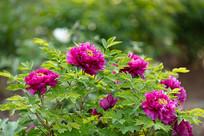 玫红色牡丹花花丛