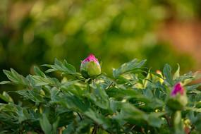 牡丹花的花骨朵