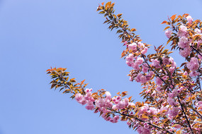 蓝天下盛开的日本樱花