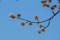 树枝上的一朵朵盛开的杏花
