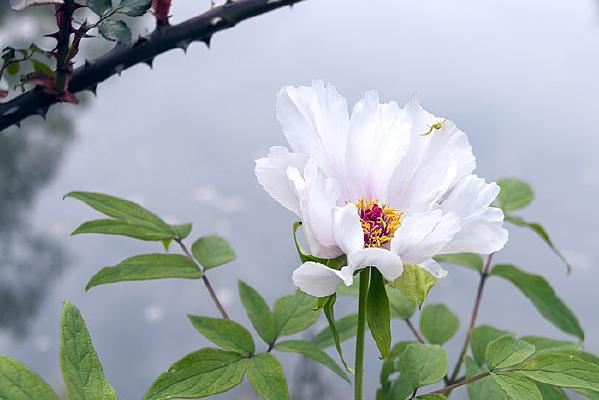 一朵纯色背景的白牡丹