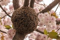 樱花树下蜜蜂巢摄影图