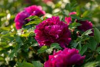 盛开的玫红色牡丹花特写