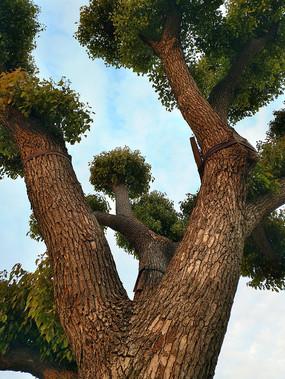 古香樟树干