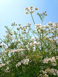 天空香草花