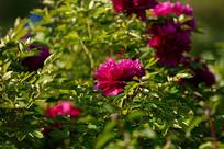 阳光下的玫红色牡丹花