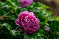 带露珠的紫色牡丹花