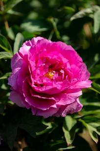 带水珠的玫红色牡丹花