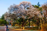 公园路边满树盛开白花的树