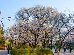 公园人盛开着白花的树木树林