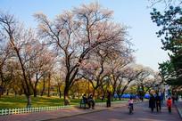 公园人行路与绽放白花的树