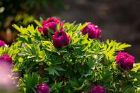 花园里的玫红色牡丹花