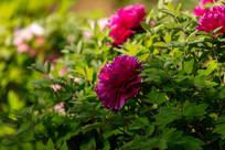 漂亮的玫红色牡丹花