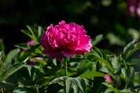 一朵玫红色牡丹花