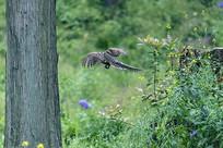 飞翔中的雌白冠长尾雉