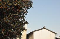 桂花树和白墙