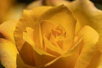 黄色玫瑰花特写