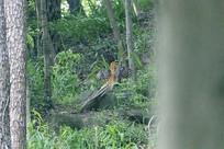 树林中振动翅膀的白冠长尾雉