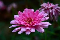 粉色百日菊