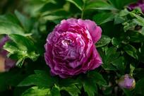 公园紫牡丹特写