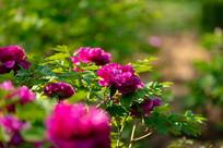 花园里的紫牡丹