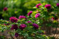 花园里的紫色牡丹花