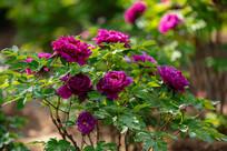 花园里盛开的紫色牡丹花