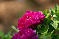 玫红色牡丹花
