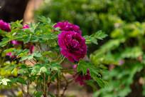 清晨盛开的紫色牡丹花