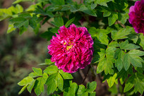 盛开的玫红色牡丹花