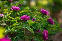 阳光下的紫色牡丹花