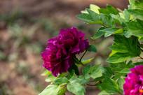 一朵紫色的牡丹花