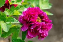 紫牡丹花朵特写