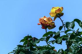 两朵透空月季花