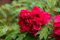 带露珠的红色牡丹花