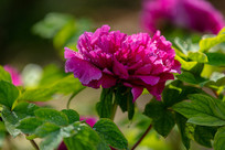 带露珠的紫牡丹