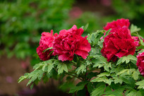 美丽的红牡丹