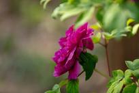 漂亮的紫牡丹