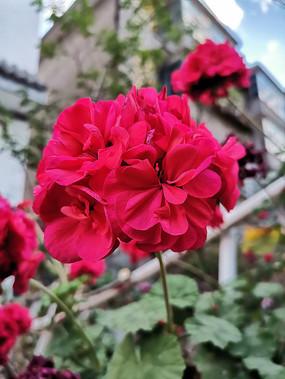 阳光下的大红花