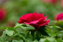一朵红牡丹