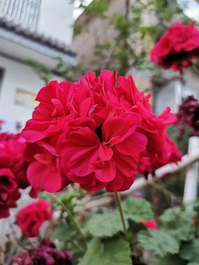 一朵盛开的大红花