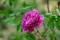 一朵盛开的紫色牡丹花
