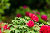 雨后盛开的红牡丹